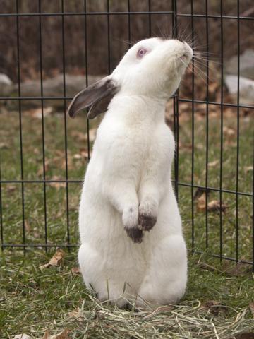 Joss, a Californian rabbit, owned by our technician Joanne. Image source: Ellen Zangla Photography
