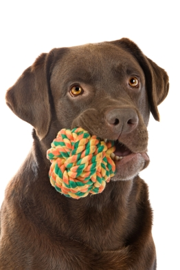 Lab with chew toy_istock