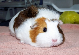 Tri-color guinea pig Source: J Sealor Photography