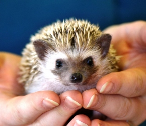 Yohzi, the African Pygmy Hedgehog. Image source: J Sealor Photography