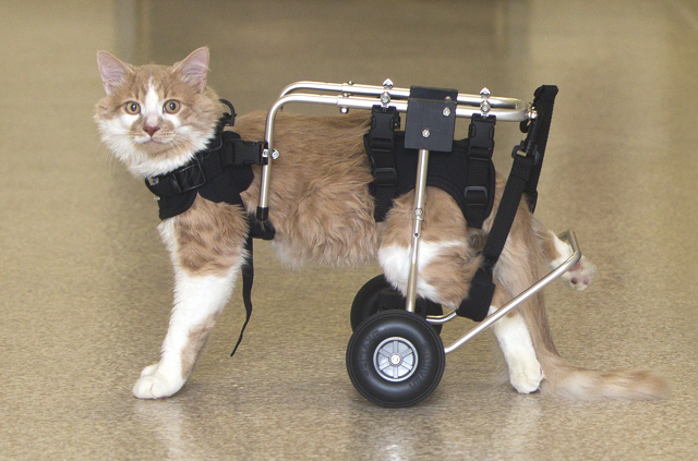 At 6 weeks old, Tshirt sustained  trauma that left his back-end immovable.  Today, he is a happy and healthy cat zip around with the help of his custom wheelchair.
