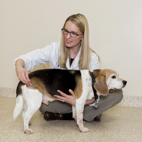 Dr. Doering performs acupuncture on Noah, a 12 year old Beagle