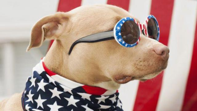 Patriotic dog with sunglasses