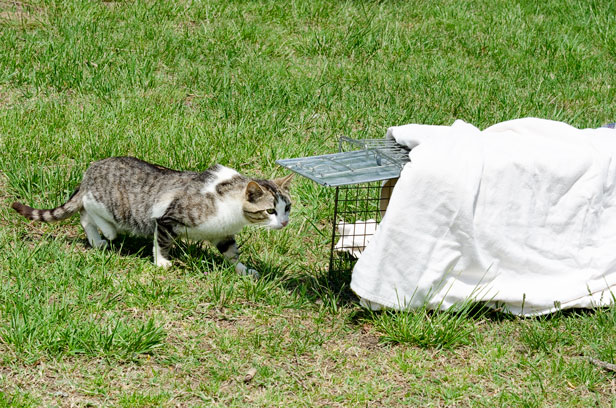 In a successful TNR program, all cats in a colony are taken to be spayed/neutered and vaccinated at once.  This most effectively controls population within the colony.