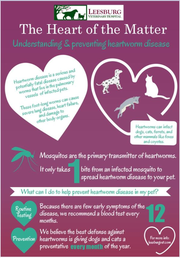 Heartworm Disease_LVH infographic