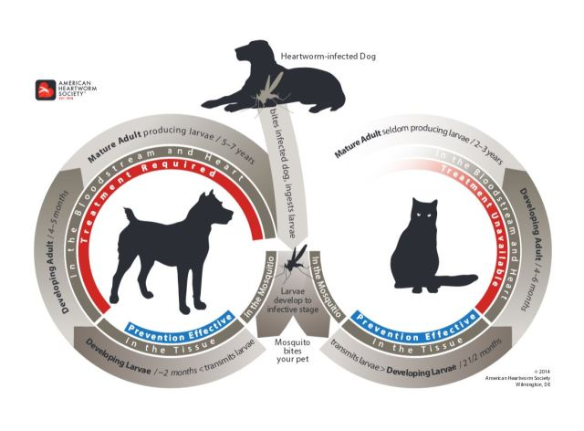 Comparing the heartworm life cycle in dogs and cats, starting with the mosquito bite. Image source: American Heartworm Society.