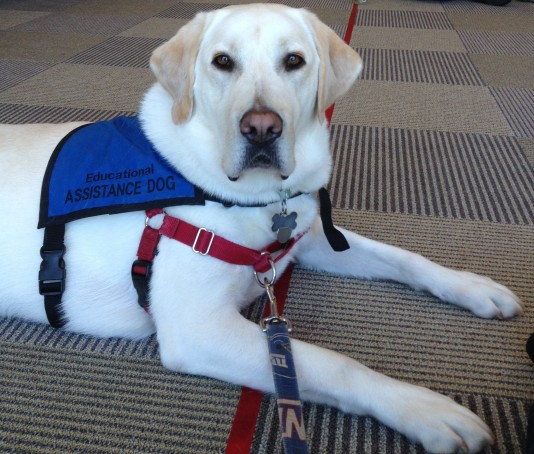 Jack is a 6 year old Yellow Lab and one of our patients.  Jack is a certified Education Assistance Dog.  Image source: Eileen Ginty