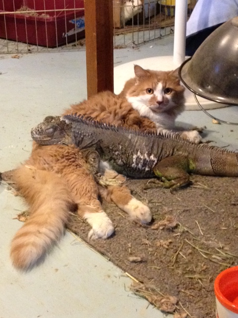 Bianca the iguana just loves hanging out with her feline friend T-Shirt! This cute pair belongs to our technician, Joanne.