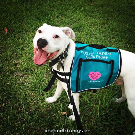 deaf-dog-vest-pitbull