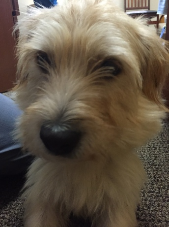 Alfred, a 2-year old Norfolk Terrier. Recently adopted, Alfred's owners knew he had heartworm disease, but are diligently working with us. So far his treatments are going well!