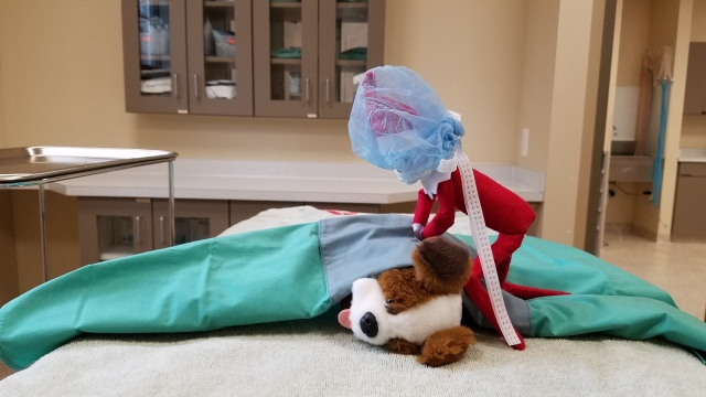 Elf on the Shelf pets Leesburg Veterinary Hospital