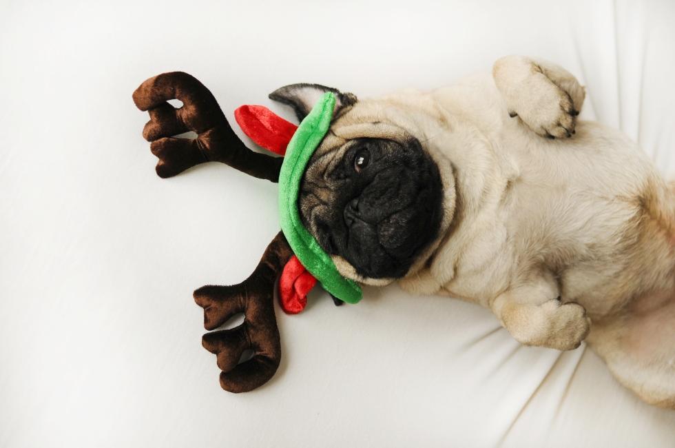 christmas-pug