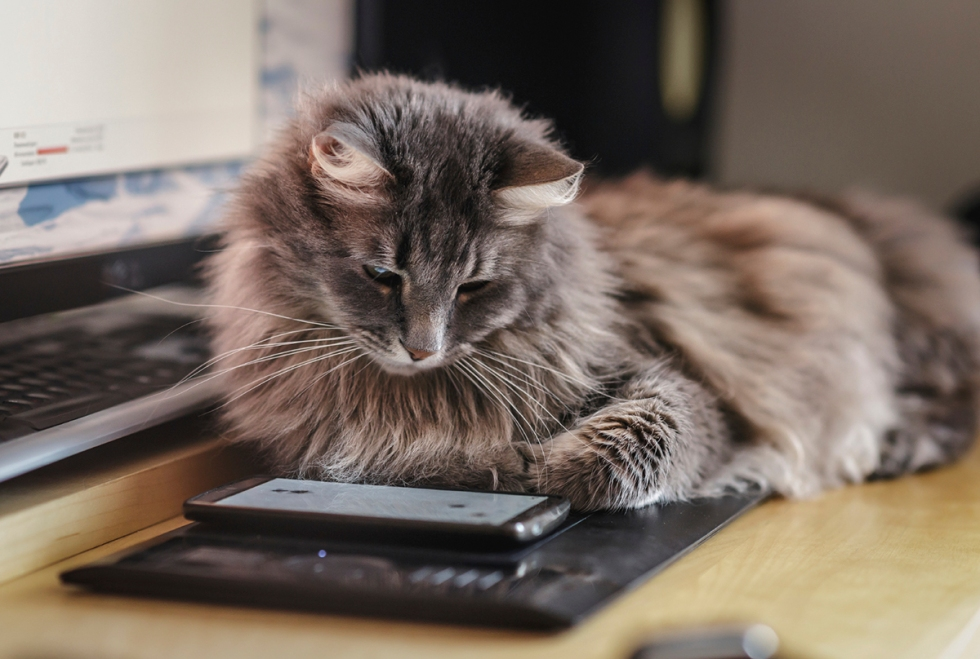 cat-looking-at-smartphone