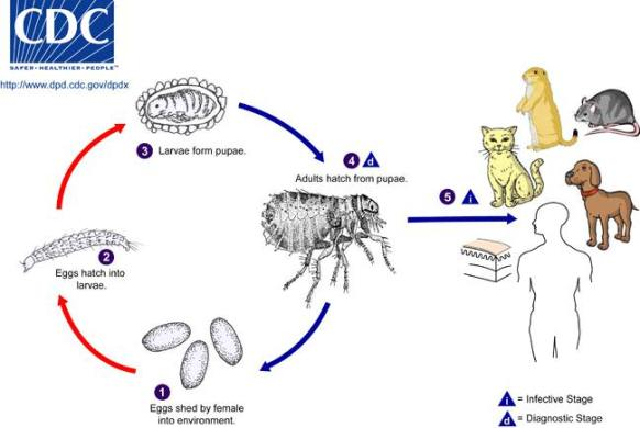 Flea Life Cycle