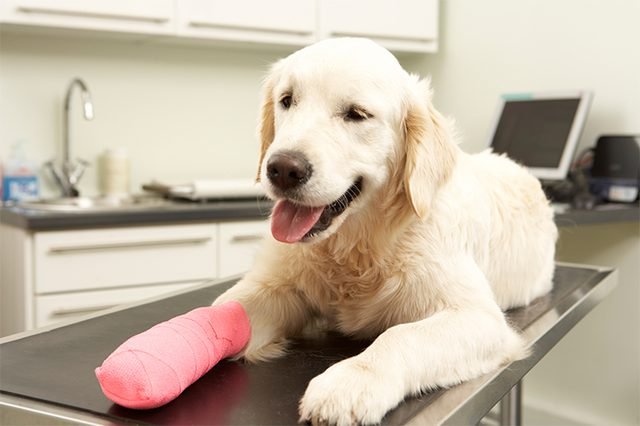 Pet First Aid - How to Apply a Pet Bandage