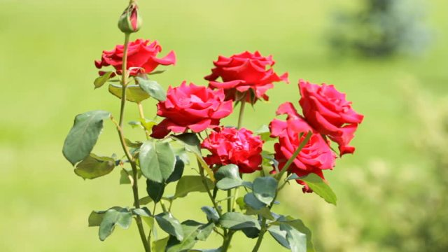Garden Pet Safety Rose Thorn bushes